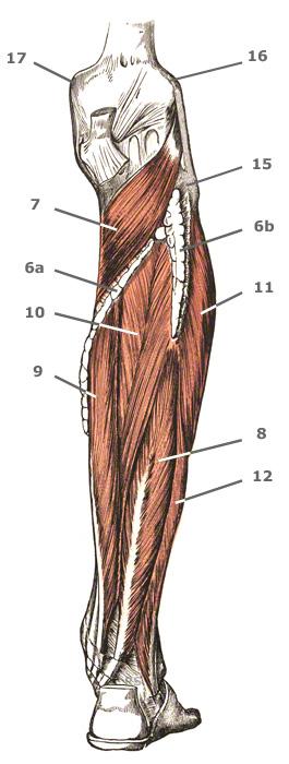 Oppervlakkige onderbeenspieren